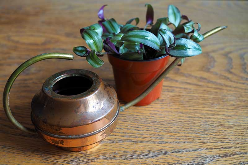 A close up horizontal image of a small pot with a spiderwort plant set on a wooden surface with a metal watering can in the foreground.