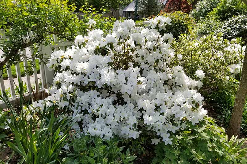 A close up horizontal image of a white azalea shrub growing by a picket fence surrounded by perennials pictured in light sunshine.