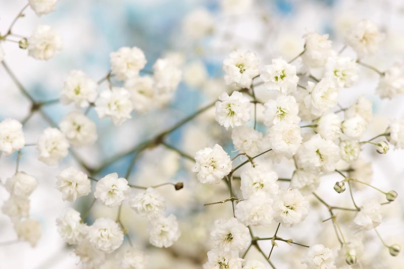 How to Grow and Care for Baby's Breath (Gypsophila)