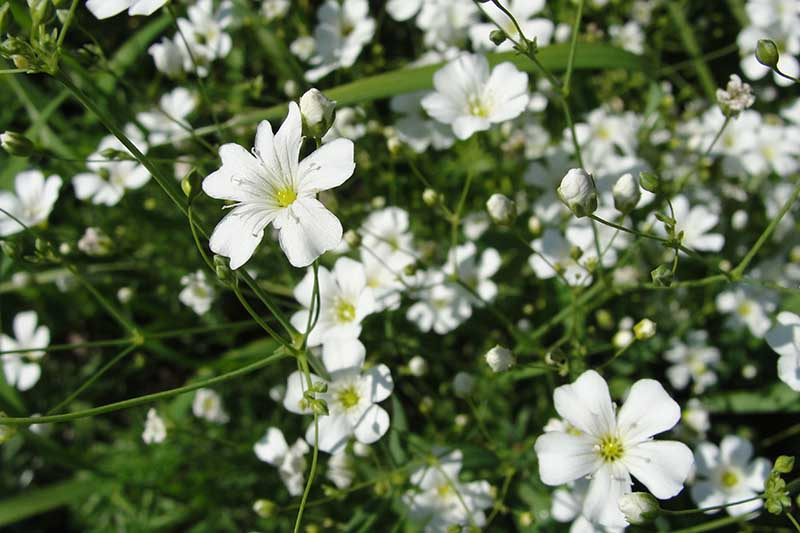 A close up horizontal image of the white flowers of baby's breath growing in the summer garden.