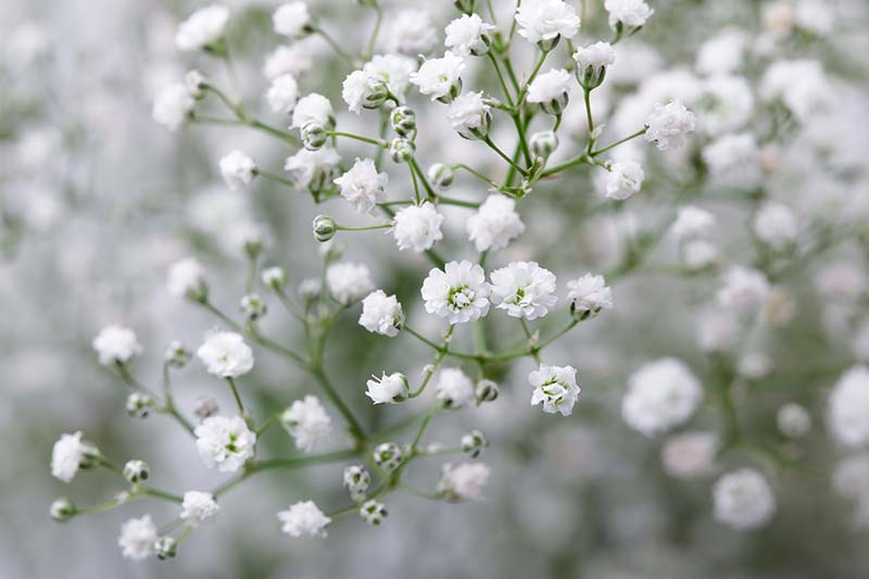 A close up horizontal image of white baby's breath flowers growing in the garden pictured on a soft focus background.