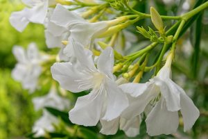 9 of the Best Varieties of Oleander Shrubs to Grow in Your Garden
