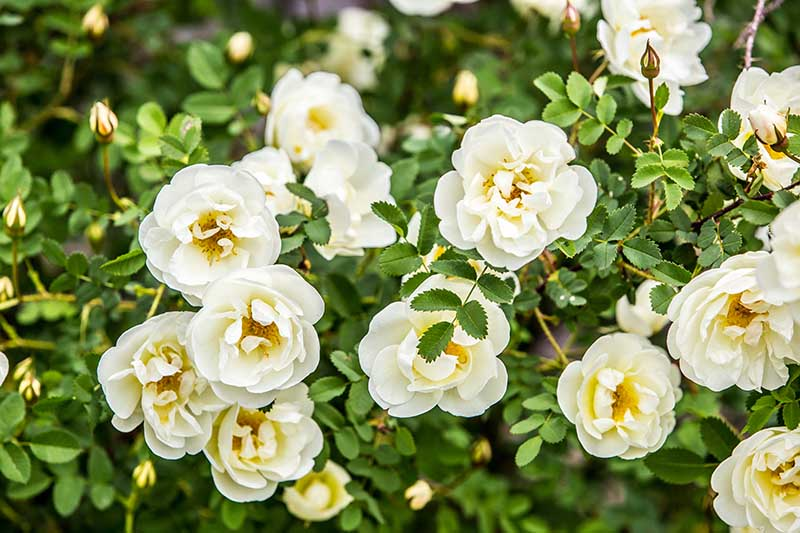 A close up horizontal image of a shrub with white flowers growing in the garden pictured on a soft focus background.