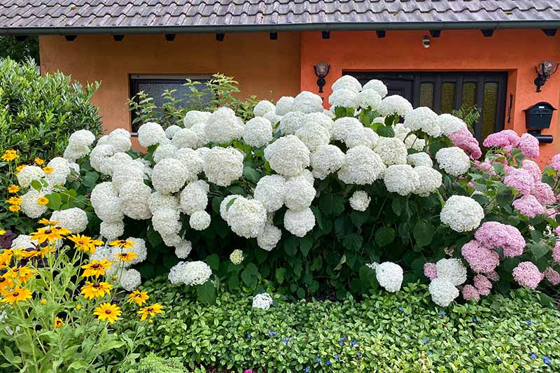A horizontal image of large H. arborescens shrubs in a perennial border outside a residence.
