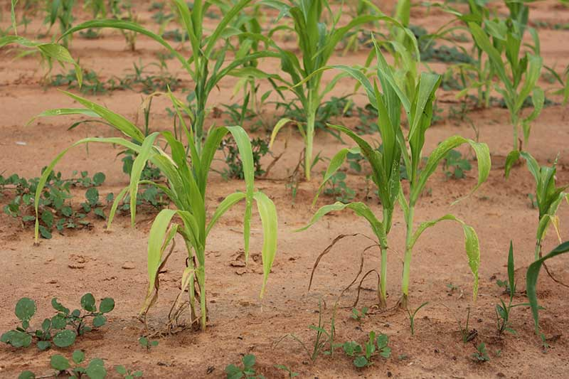 A horizontal image of a corn plantation with seedlings suffering from blight.