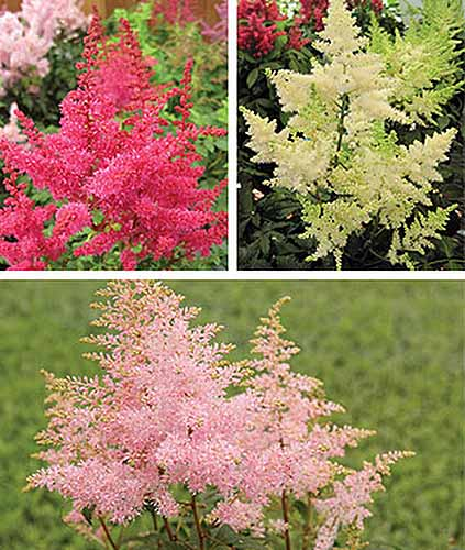 A square collage of three different astilbe flowers, the bottom being pink, top left is red, top right is white.