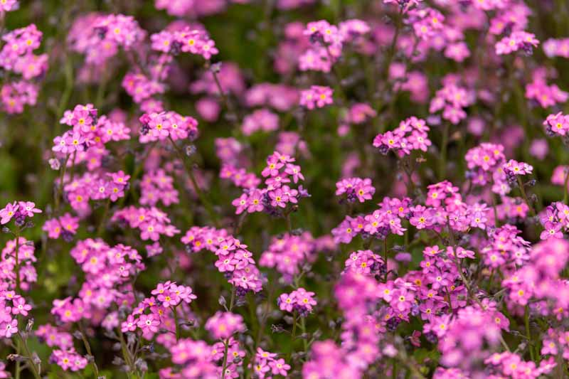A close up horizontal image of a mass planting of pink Myosotis sylvatica flowers growing in the garden fading to soft focus in the background.