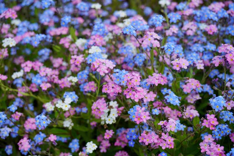 A horizontal image of a mass planting of pink, white, and blue forget-me-not flowers (Myosotis sylvatica).