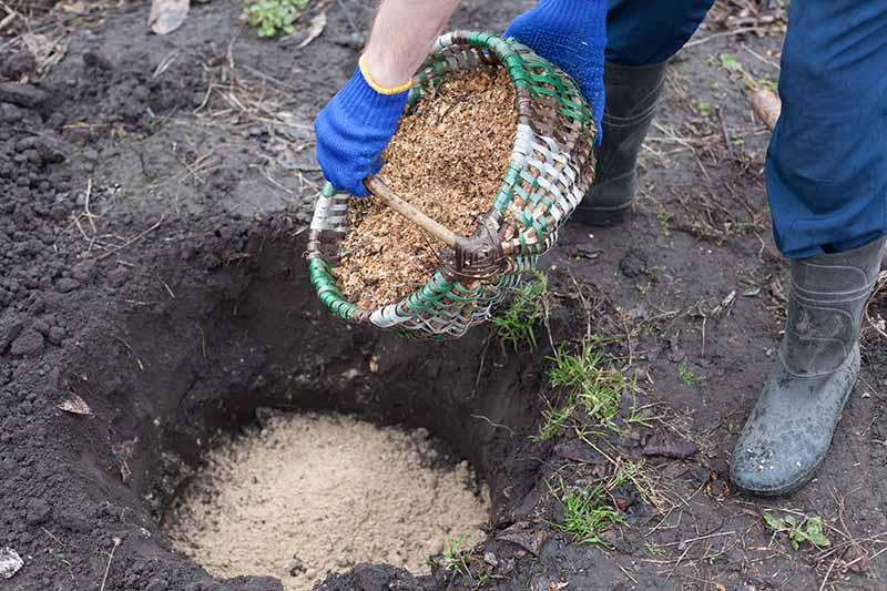 A close up horizontal image of a gardener pouring sawdust into a hole dug in the garden prior to planting.