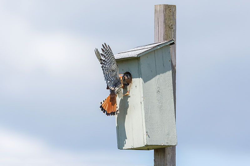 A close up horizontal image of an American kestrel feeding its chick in a wooden nesting box with cloudy sky in the background.