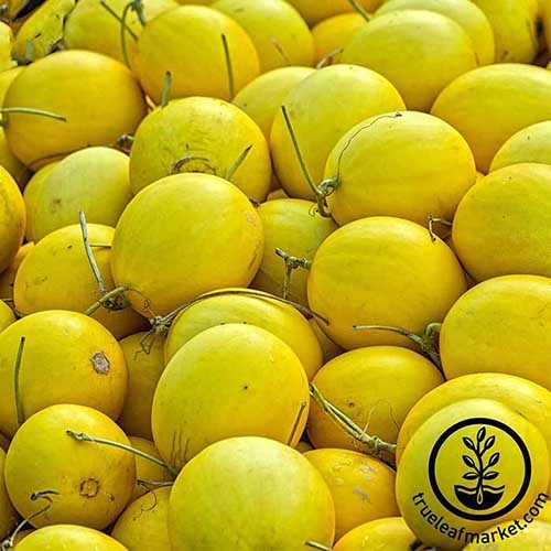 A close up square image of a pile of bright yellow 'Amy' melons. To the bottom right of the frame is a black circular logo with text.