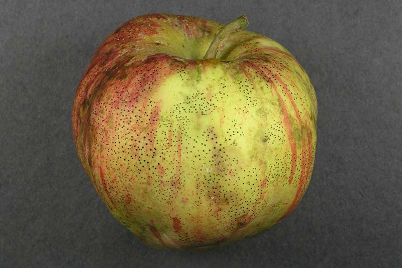 A close up horizontal image of an apple suffering from a disease commonly known as flyspeck set on a dark gray surface.