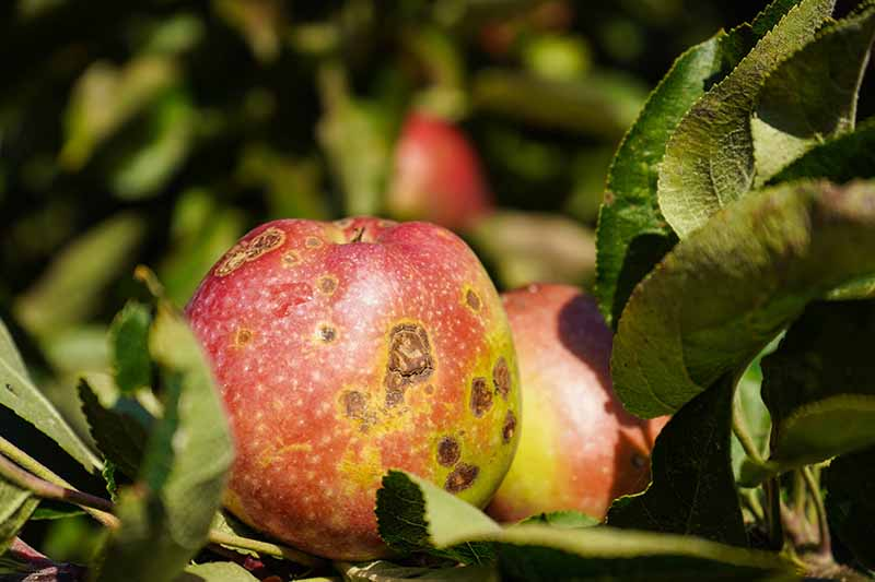 A close up horizontal image of a fruit displaying symptoms of apple scab pictured in light sunshine on a soft focus background.