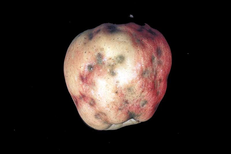 A close up horizontal image of a harvested apple showing signs of calcium deficiency pictured on a black background.
