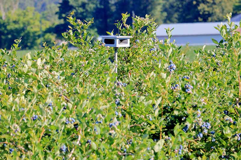 A close up horizontal image of an audible scarer placed in a berry patch to deter avian pets pictured in bright sunshine.