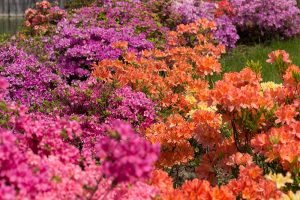 Azalea Bloom Times and Flowering Groups