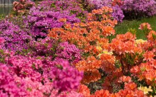 A close up horizontal image of a variety of different colored azalea flowers growing in the garden.