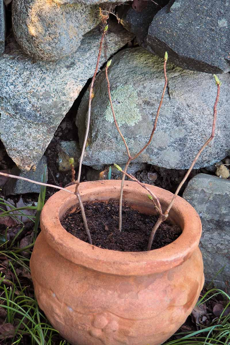 A close up vertical image of a terra cotta pot with stem cuttings taking root set in a shady spot in the garden in front of a stone wall.