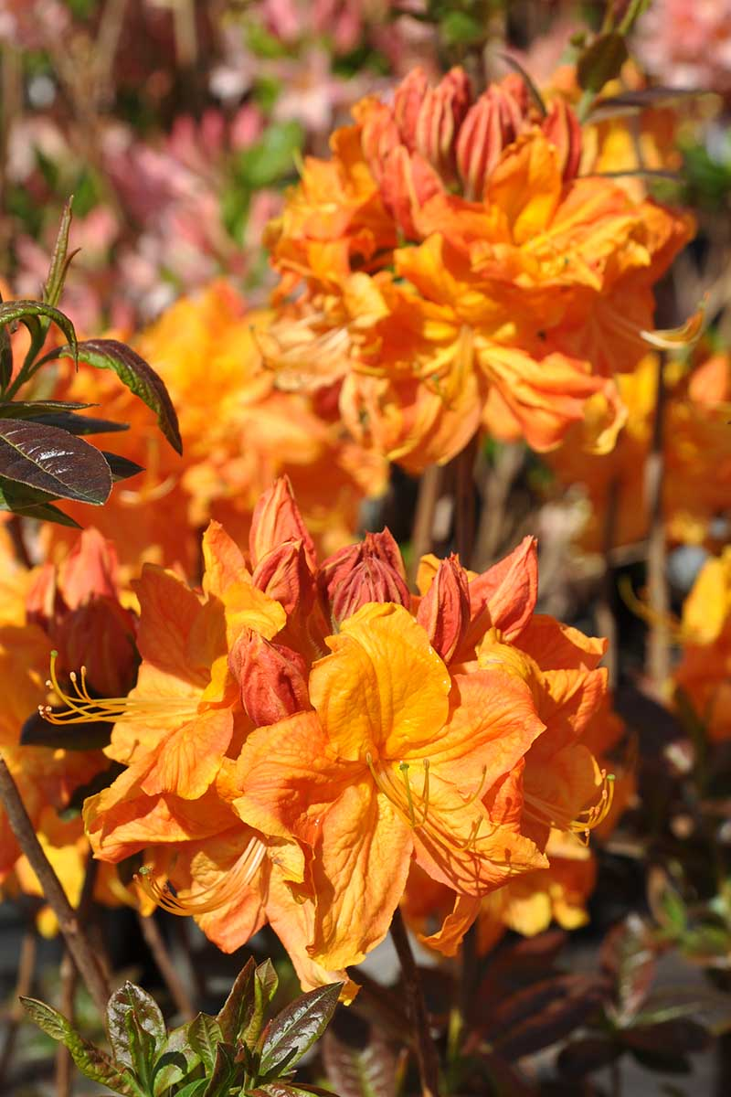 A close up vertical image of bright orange 'Klondyke' azaleas growing in the garden pictured in bright sunshine on a soft focus background.