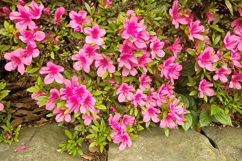 A close up horizontal image of an azalea shrub with bright pink flowers growing by the side of a rocky path.