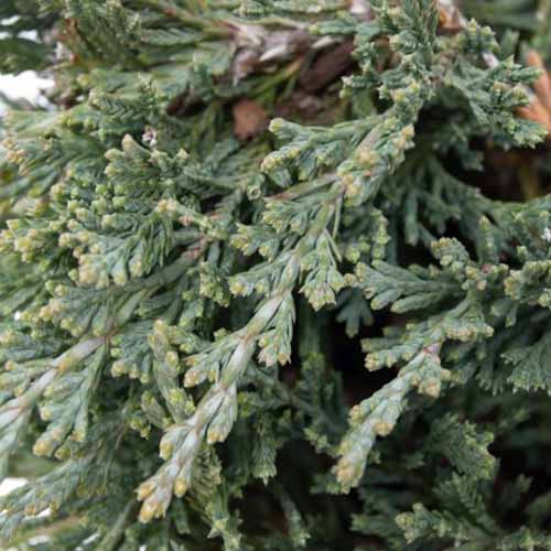 A close up square image of the foliage of Juniperus 'Bar Harbor' growing in the garden.