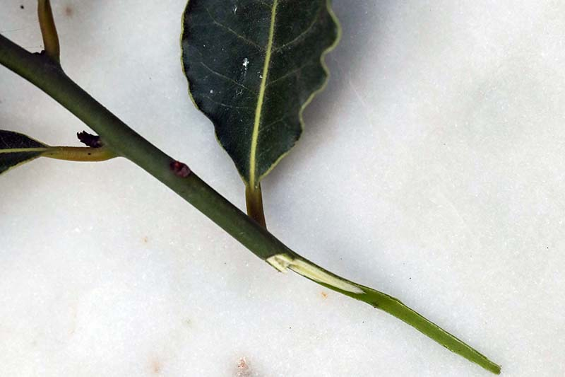 A close up horizontal image of a bay laurel stem set on a white surface ready for rooting in soil.