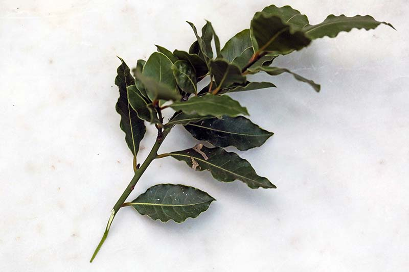 A close up horizontal image of a branch of a bay laurel with the leaves intact set on a white surface.