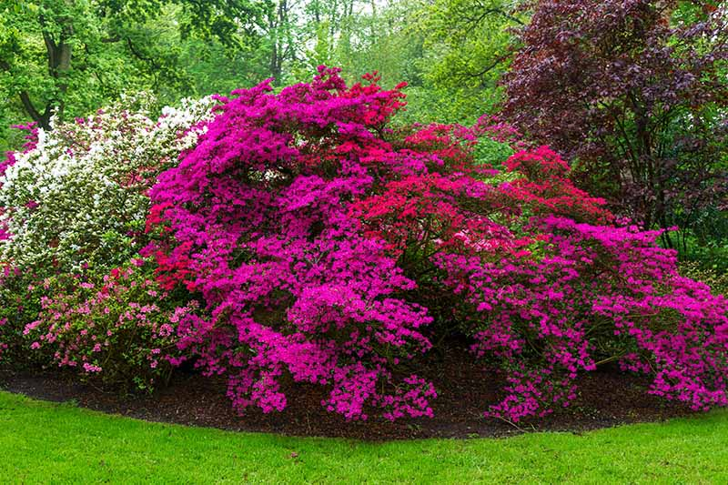 A horizontal image of large azalea bushes in full bloom in a botanical garden with trees and shrubs in the background.