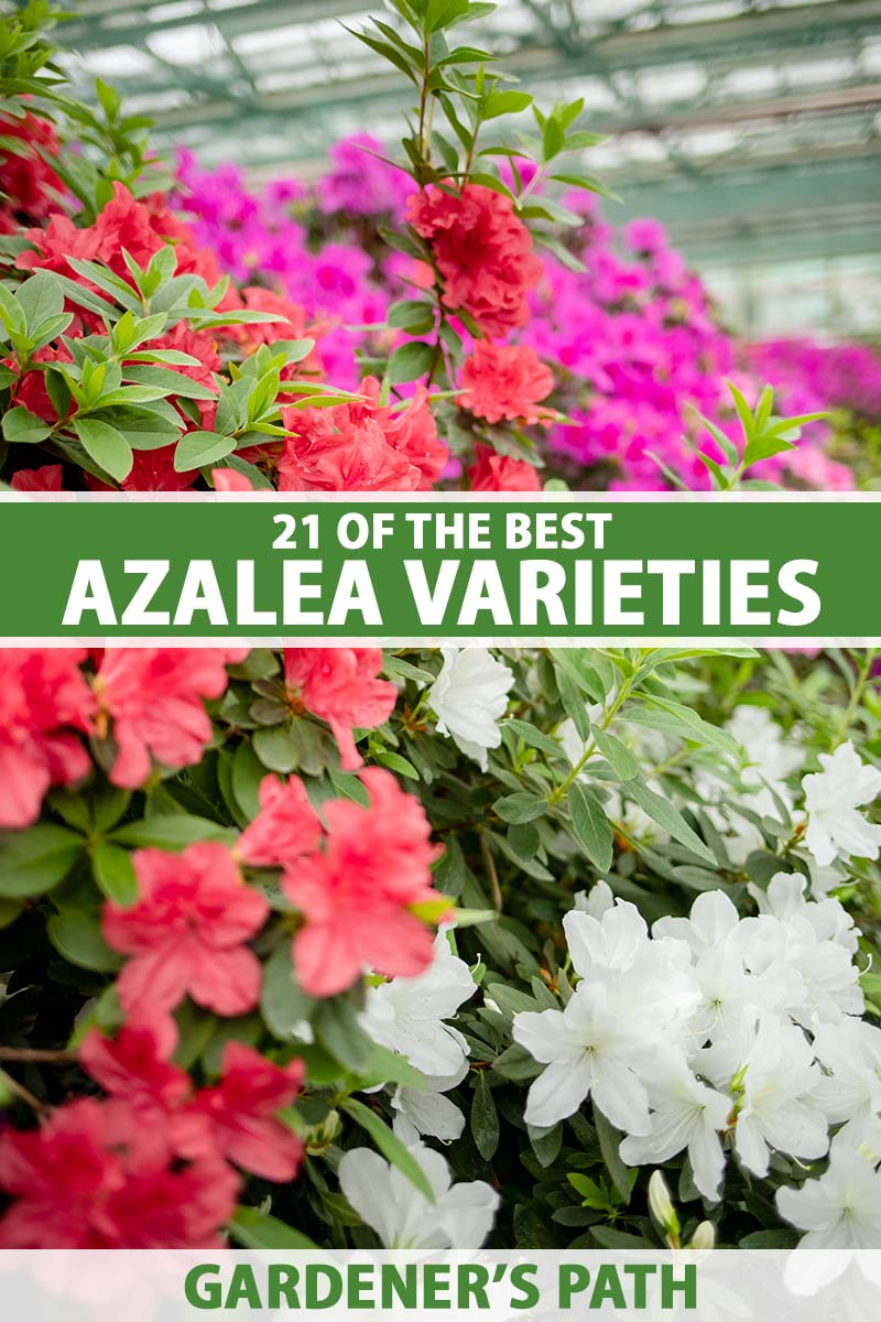 A close up vertical image of different colored azaleas blooming in red, pink, and white. To the center and bottom of the frame is green and white printed text.