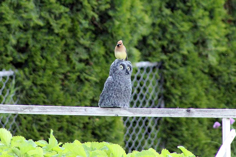 A close up horizontal image of a plastic owl set on a wooden frame to protect the vegetable garden from avian visitors with a hedge in soft focus in the background.