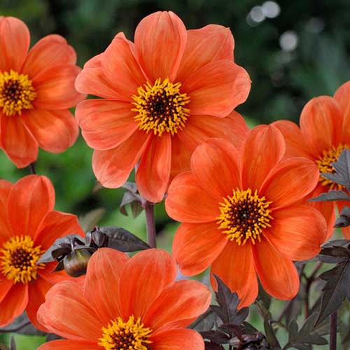 A close up square image of bright orange 'Bishop of Oxford' dahlias growing in the garden pictured on a soft focus background.