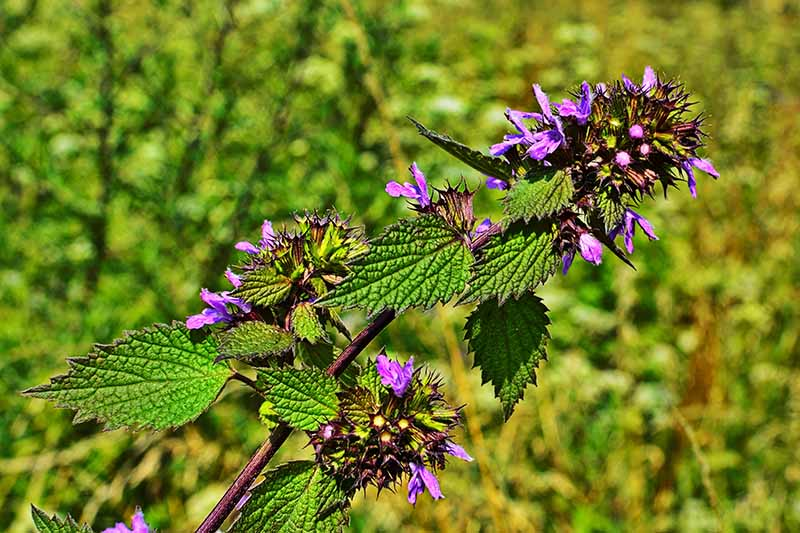 A close up horizontal image of black horehound with small purple flowers pictured in bright sunshine on a soft focus background.