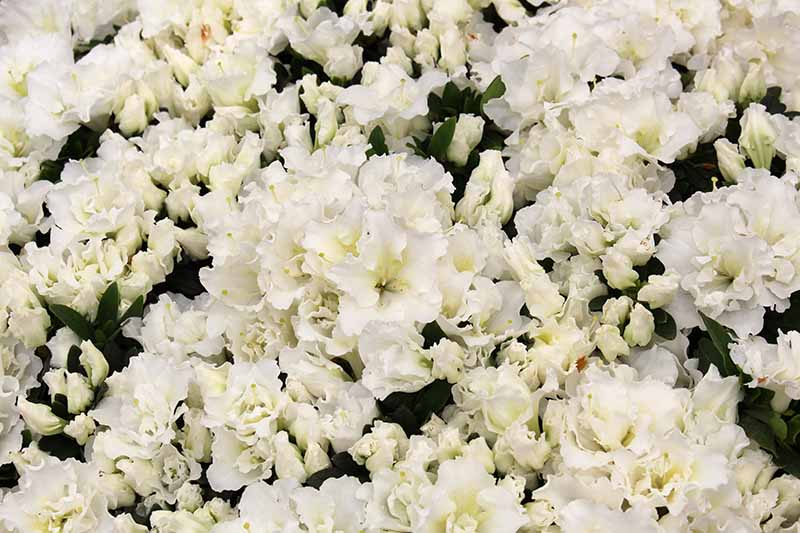 A close up horizontal image of clusters of white Bloom-A-Thon azalea flowers.