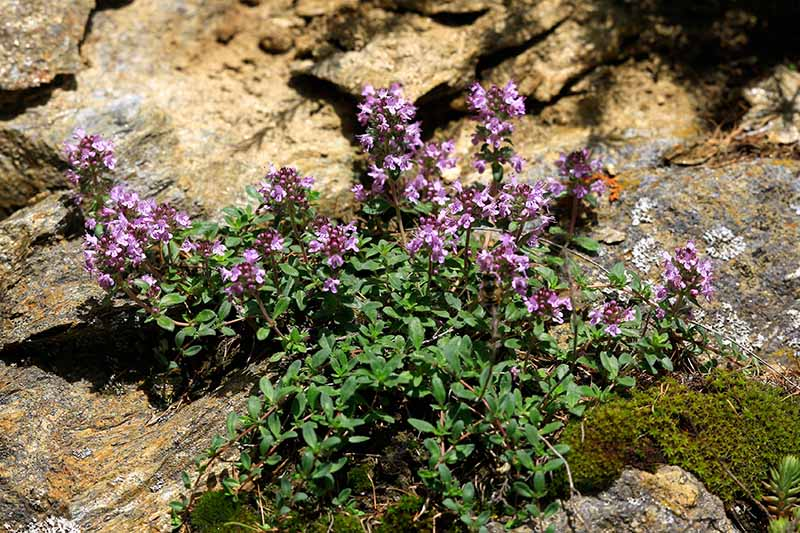 A close up horizontal image of the small pink flowers of creeping thyme growing over rocks.