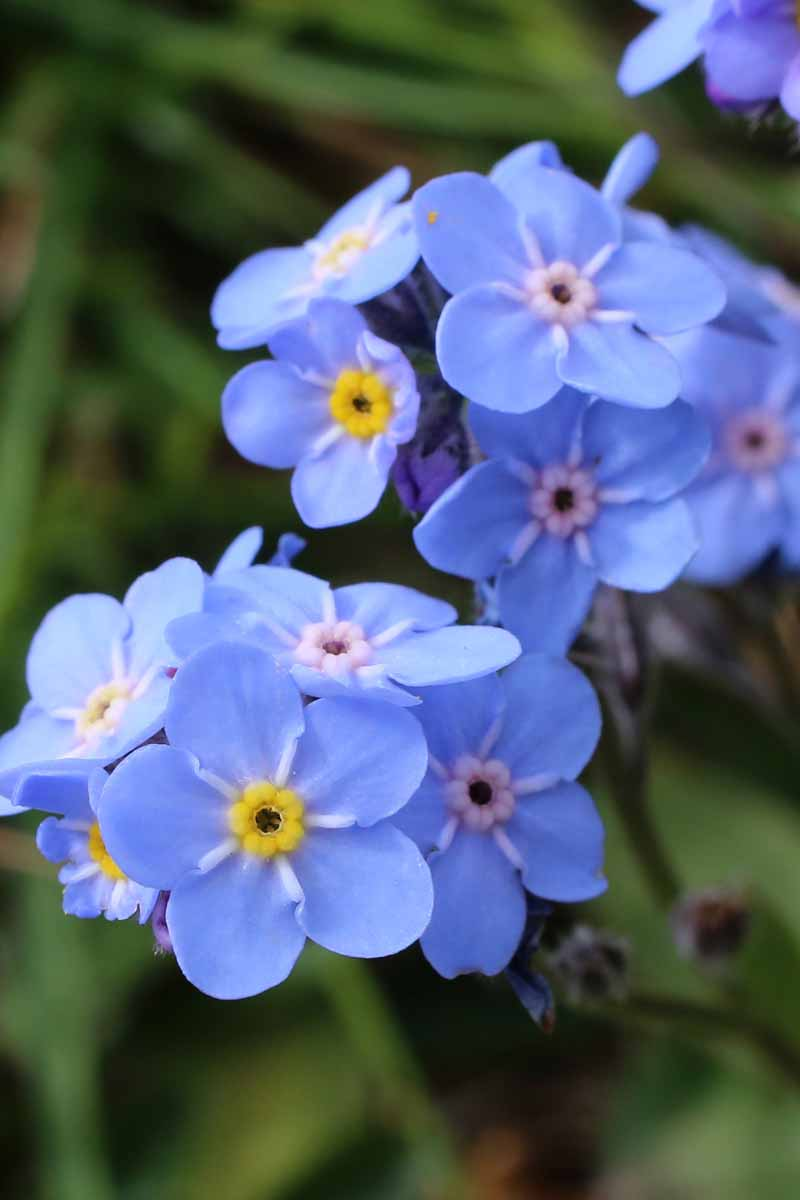 A close up vertical image of bright blue forget-me-not flowers (Myosotis sylvatica) pictured on a green soft focus background.