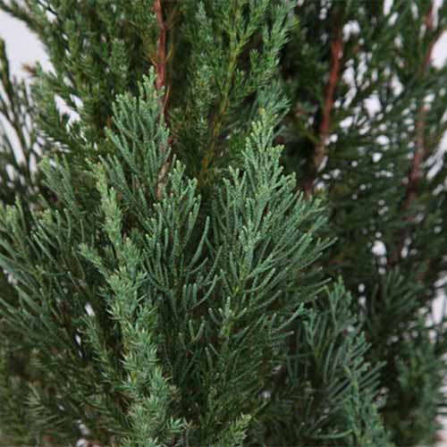 A close up square image of the foliage of Juniperus 'Blue Point' pictured on a soft focus background.