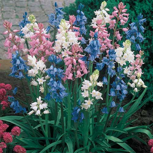 A close up square image of blue, pink, and white Spanish bluebells growing in the garden.