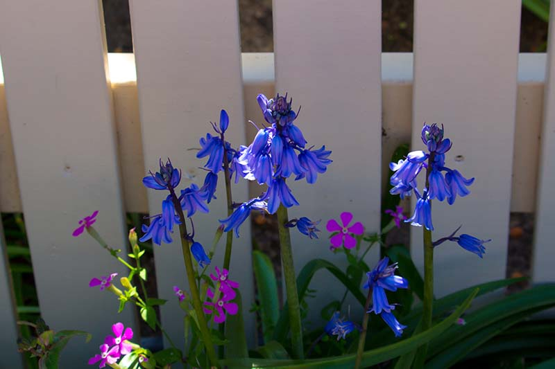 A close up horizontal image of bright blue Hyacinthoides hispanica flowers growing by a white wooden fence.