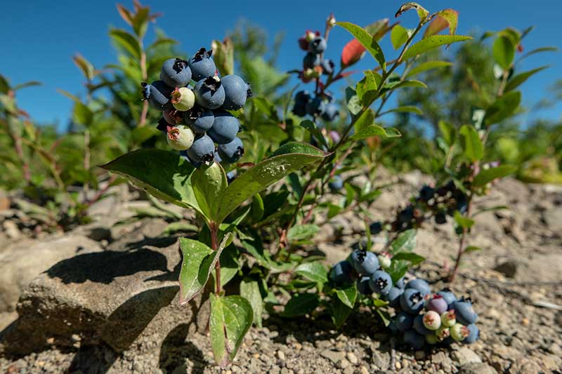 A close up horizontal image of a wild Vaccinium shrub growing in a rocky soil pictured in bright sunshine on a blue sky background.