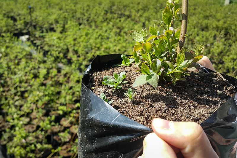 A close up horizontal image of a hand from the right of the frame holding a blueberry transplant growing in a black plastic bag.