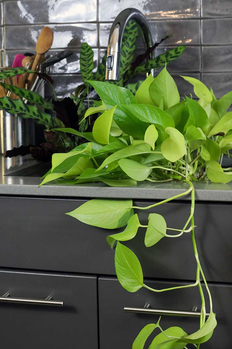 A close up vertical image of a selection of different houseplants set in a kitchen sink.