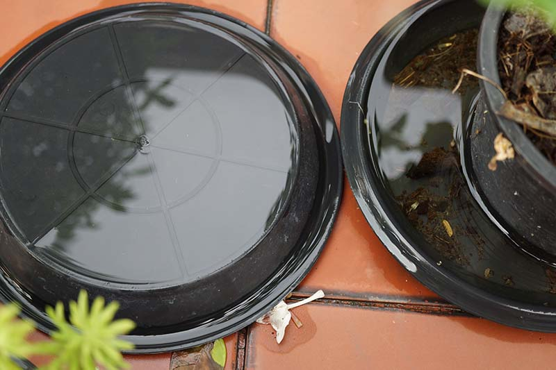 A close up horizontal image of. houseplant in a black plastic pot set in a saucer on a terra cotta tiled surface.