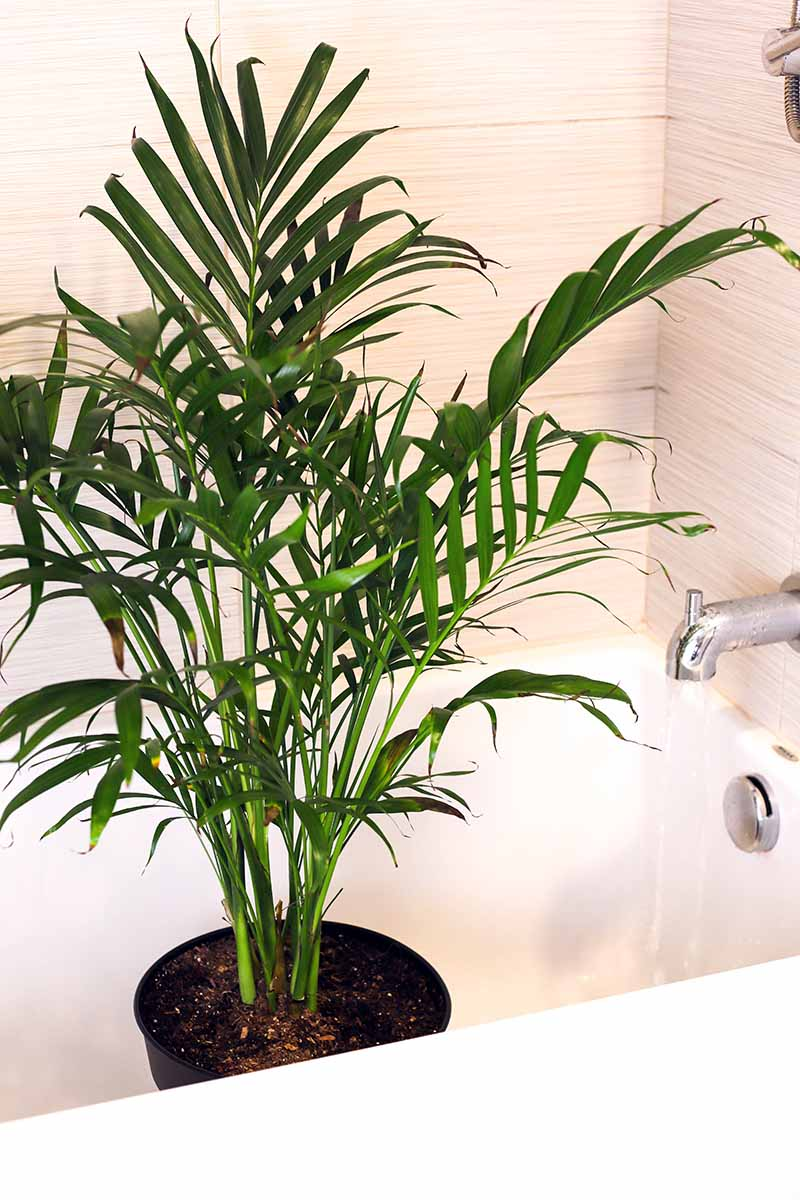 A close up vertical image of a houseplant in a black plastic pot set in a bathtub with the tap running.