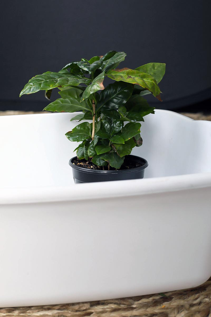 A close up vertical image of a small houseplant set in a white plastic container pictured on a soft focus background.