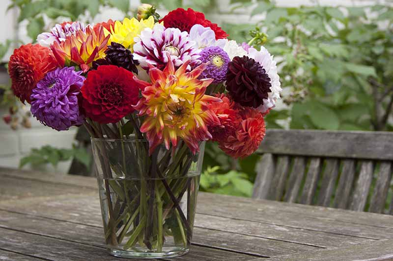 A close up horizontal image of a glass vase with a bouquet of bright colored dahlias freshly cut from the garden set on a wooden outdoor table.