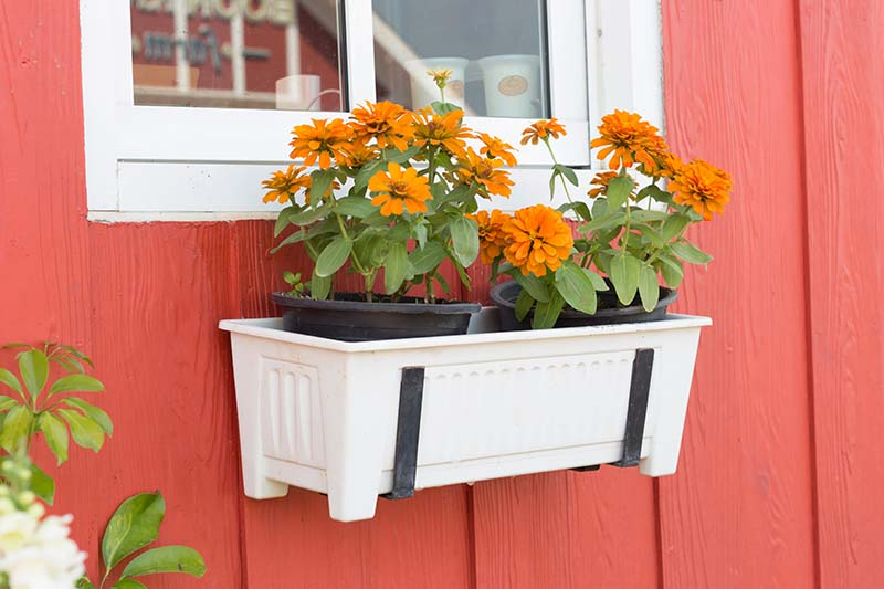 A close up horizontal image of a white window box attached to a red house with orange flowers.