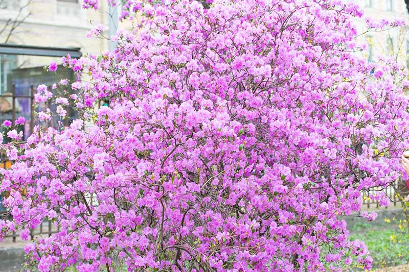 A close up horizontal image of a large Rhododendron schlippenbachii shrub covered in bright pink flowers growing outside a residence.