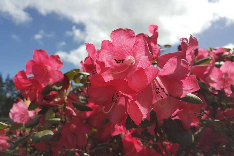 A horizontal image of a large 'Rebloom' azalea shrub in full bloom pictured on a blue sky background.