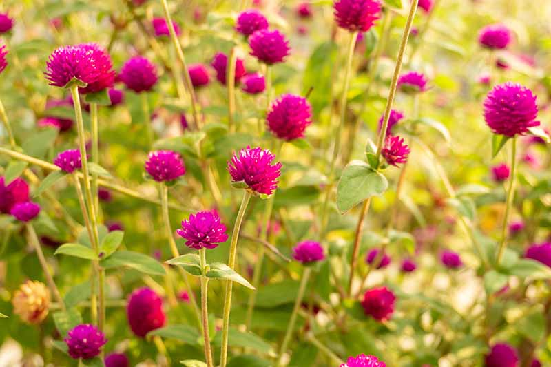 A close up horizontal image of bright red Gomphrena globosa flowers growing in the garden.