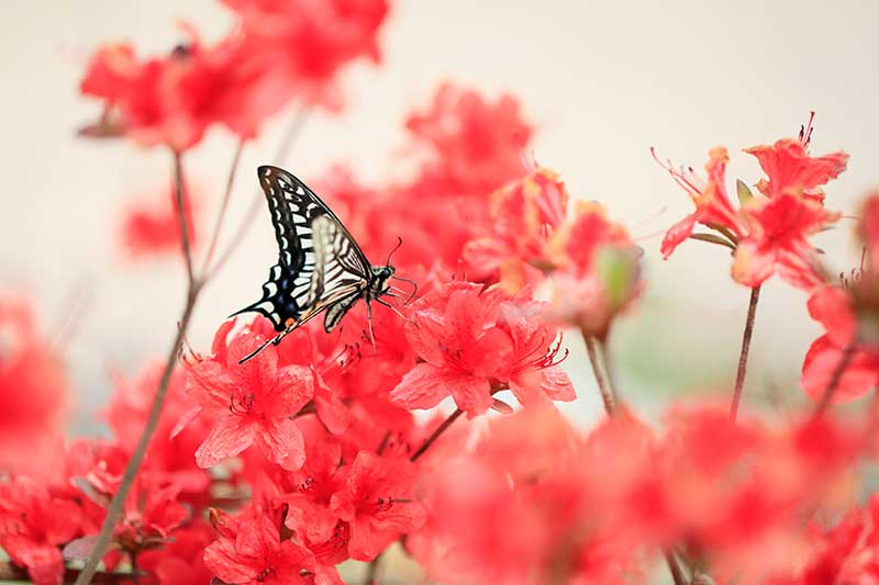 A close up horizontal image of red azalea flowers with a butterfly feeding on the blossoms, pictured on a soft focus background.